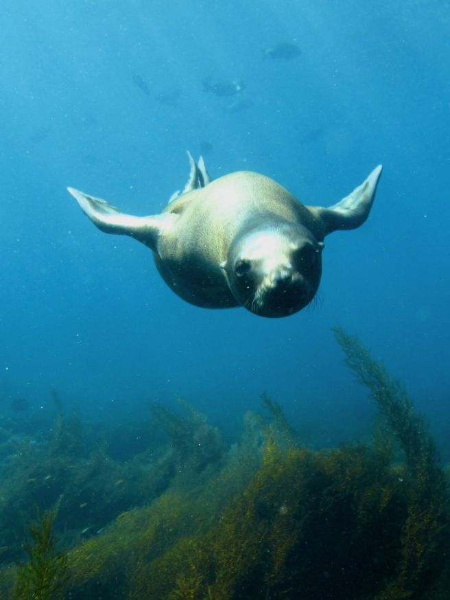 California_Sea_Lion_Lrg