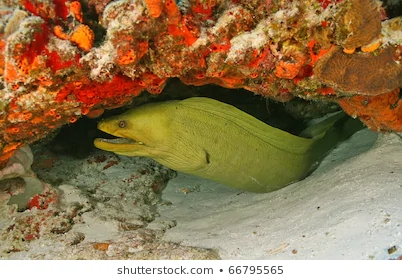 green-moray-gymnothorax-funebris-cozumel-260nw-66795565