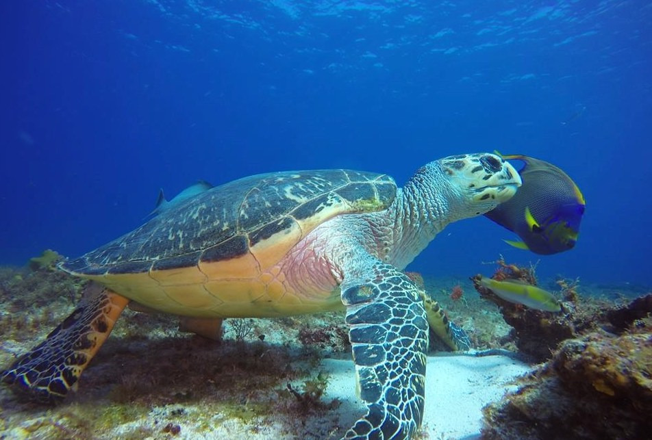 turtle_reef_cozumel_mapleleafscuba_mexico
