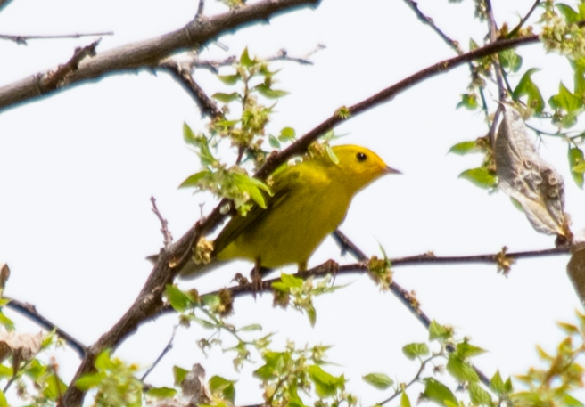 2020-05-01-YellowWarbler3